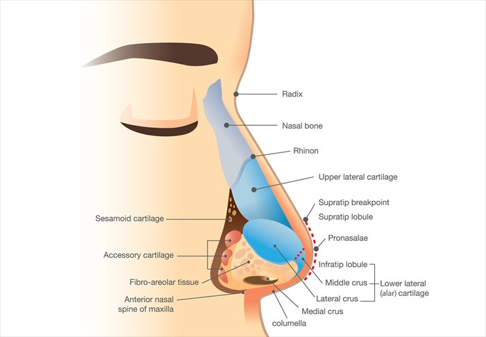Nasal anatomy explained